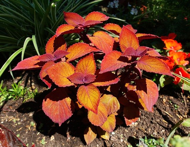 How to Propagate Coleus from Cuttings