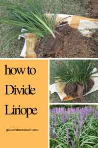 how to divide liriope