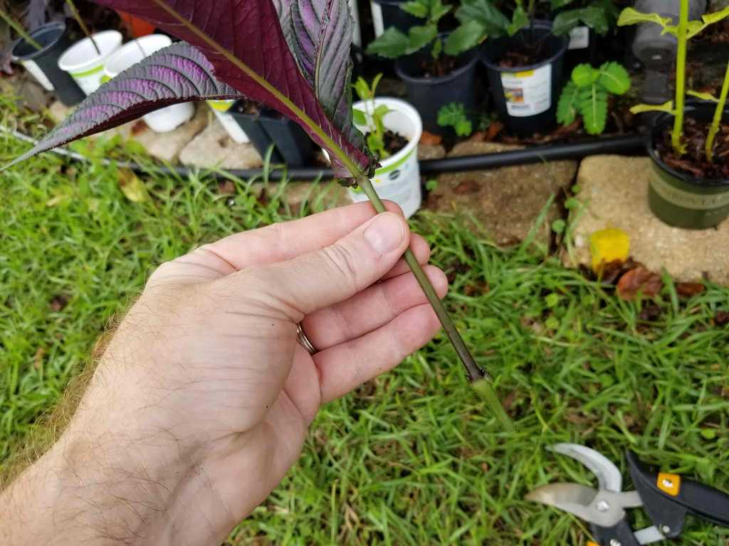 propagate persian shield