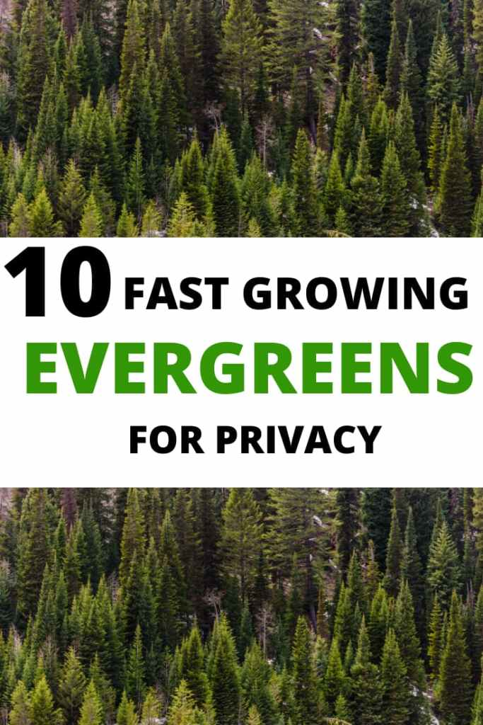 evergreen trees for privacy