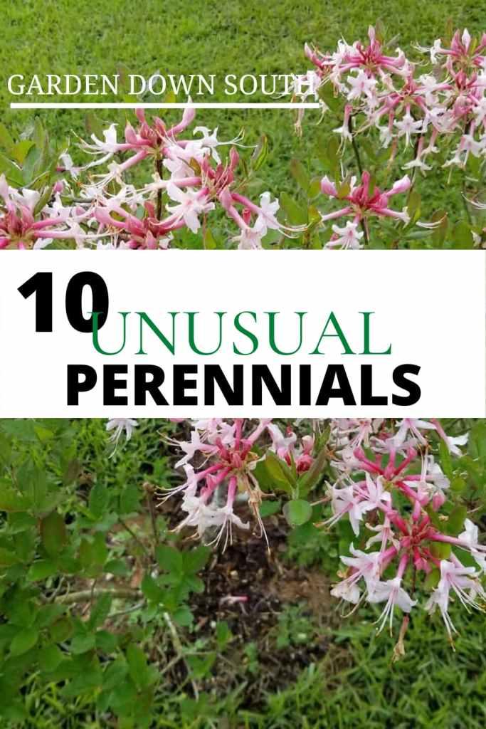 unusual perennials