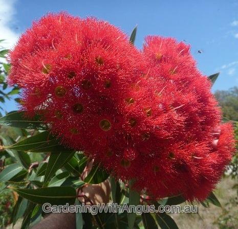 Corymbia-colour-forms-011