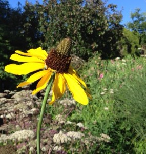 Rudbeckia maxima - ungainly but lovable