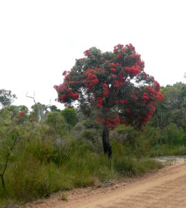 Red flowering gum in the bush by the roadside