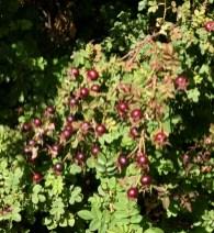 Dark, cherry-black hips on Rosa pimpinellifolia