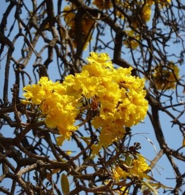 Golden bell tree, Tabebuia argentea in full bloom