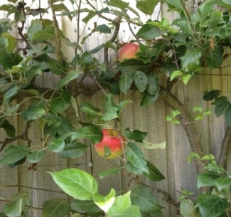 Malus 'Laxtons Fortune' espaliered against the shop