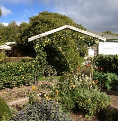 Our living fence of 'Cat's Head' apples around the vegie garden