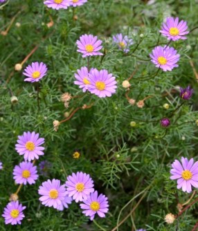 The prettiest ground cover of all - Australian native brachyscome daisies