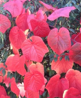 The rich crimson, scarlet and orange of Vitis cognetiae