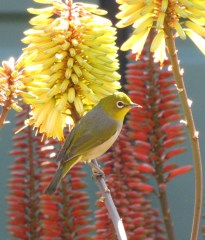 Rich nectar makes aloes very attractive to birds