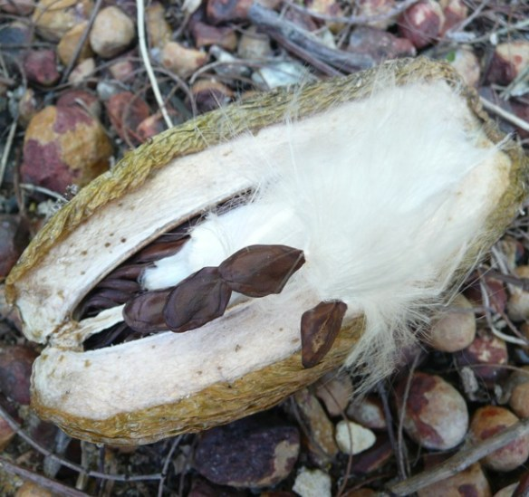 Burst seedpod reveling the tightly packed Stephanotis seeds