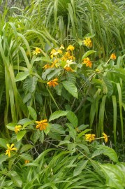 Gardenia gjellerupii flowers during the warmer months of the year