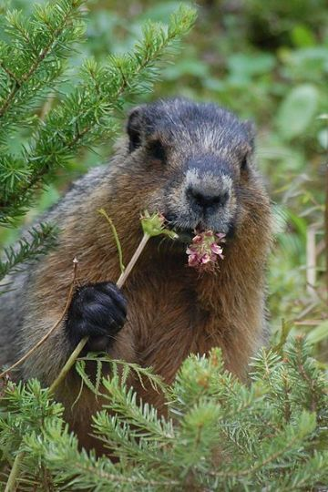 Groundhog Marmota monax Photo Reinhard Kraasch
