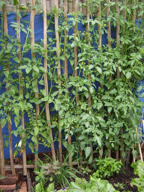 Tomatoes on trellis
