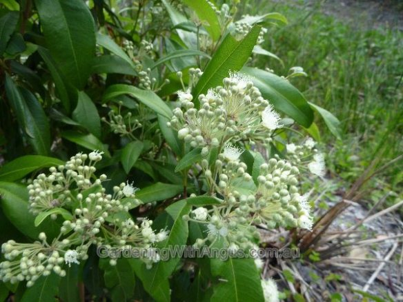 backhousia-citriodora-lemon-myrtle-004