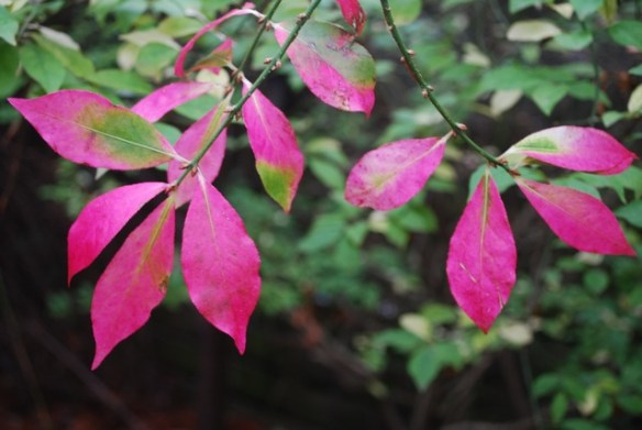 Euonymus alatus hot pink autumn foliage