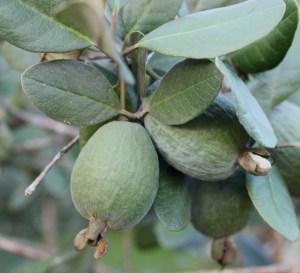 Feijoa fruit Photo Ros Goody