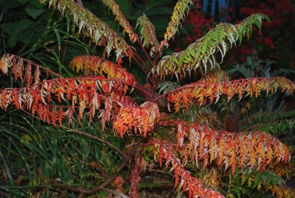 Rhus pulvinata 'Autumn Lace Group'