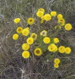 Helichrysum aureum
