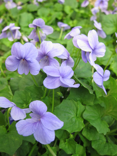 Viola hederacea 'Monga Magic'