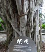 Banyon Tree preserved amid development