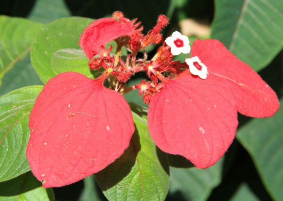 Mussaenda erythrophylla has striking red sepals