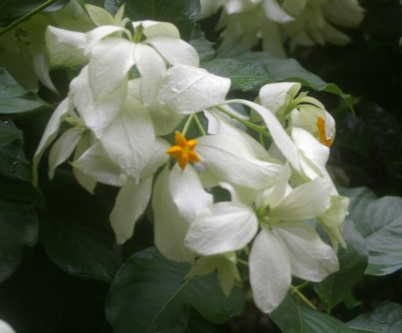 Mussaenda philippica 'Aurora' has layered multiple floral sepals