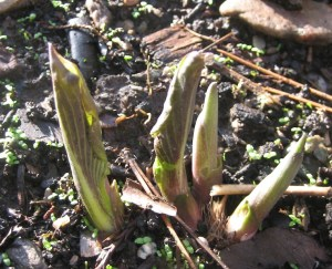 The hosta they haven't found yet