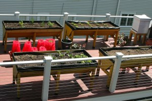 Raised garden troughs with early transplants and tomatoes in water tubes