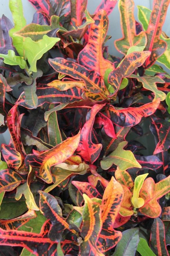Codiaeum variegatum 'Irene Kingsley'