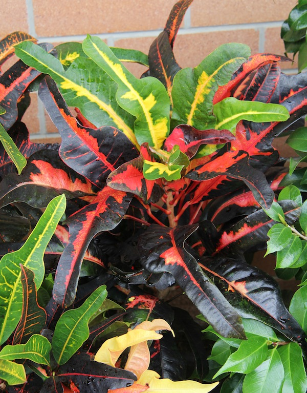 How to grow crotons &a...