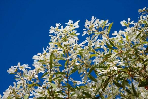 Snowflake bush, Euphorbia leucocephala