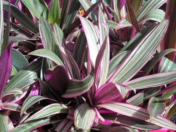 Tradescantia spathacea 'Stripe me Pink' groundcover syn Rhoeo discolor
