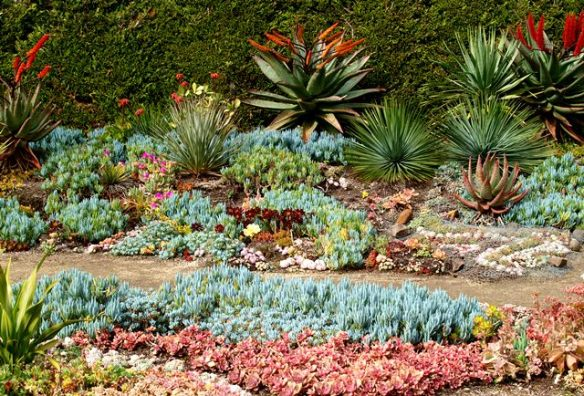 Succulents in Attila Kapitany garden Photo Tim Entwisle