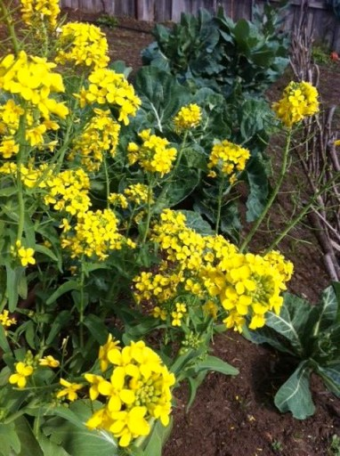 Vibrant yellow flowers on pak choy attract bees
