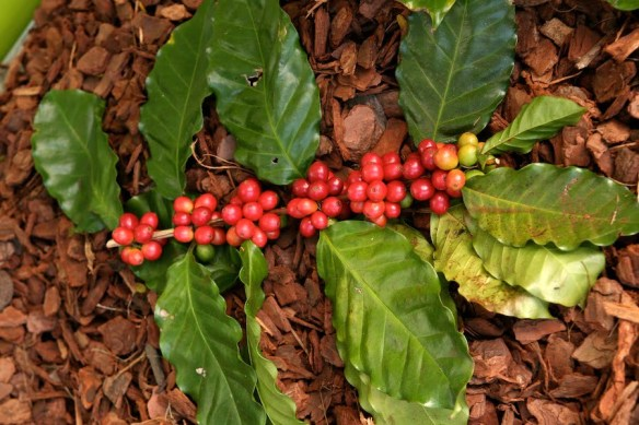Coffee fruit ready to harvest