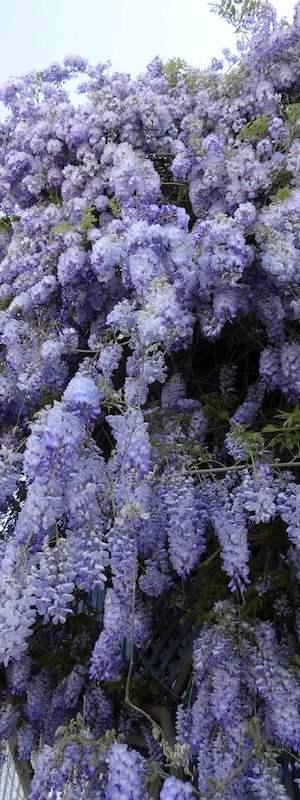 Purple wisteria Lowes Winery, Mudgee Photo Louise McDaid