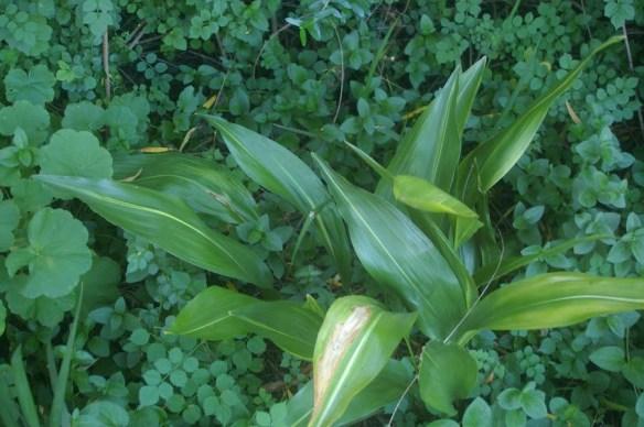 An attractive Aspidistra elatior cultivar often seen in Sydney gardens - possibly Japanese 'Akebono'