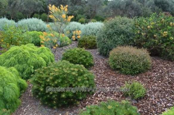 How to prune australian native plants5