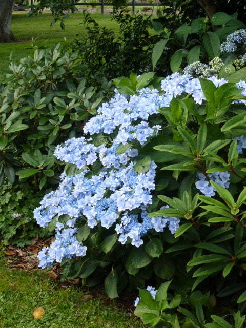 Hydrangea You&Me acid soil blue colour