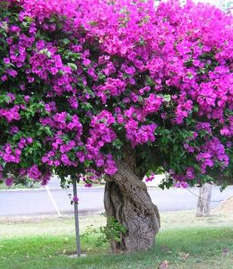 Gnarled old bougainvillea