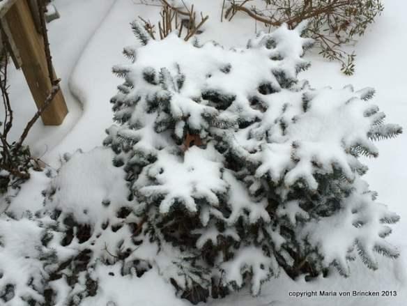 Spruce snow flowers