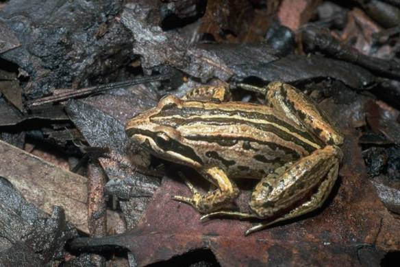 Striped brown marsh frog or Peron's marsh frog, Limnodynastes peronii Photo Jean-Marc Hero