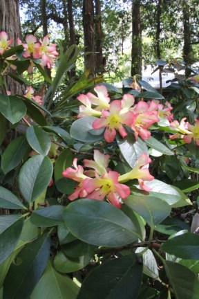 Vireya Rhododendrons grow under Eucalypts in bony soil at Stringybark Cottage
