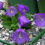 Campanula 'G F Wilson' from Lynns Rare Plants