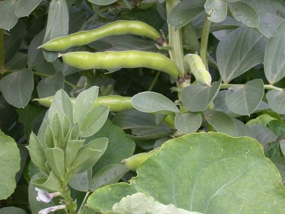 Broadbeans photo by grailbeard