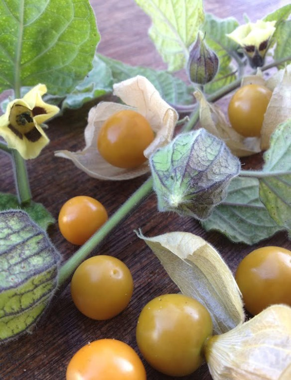 Physalis peruviana - leaf, flowers and fruit