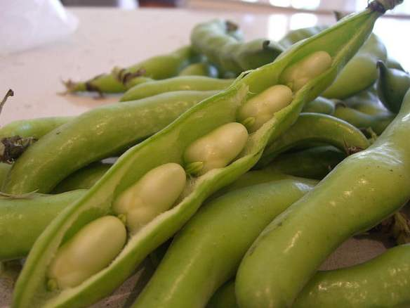 Broadbean pods Photo avlxyz