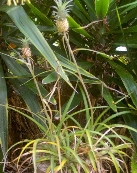 Cute - Ananas comosus var. ananassoides 'Nanus'